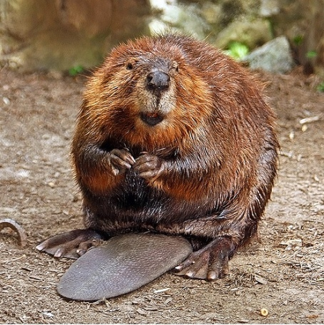 A beaver, looking devilish.
