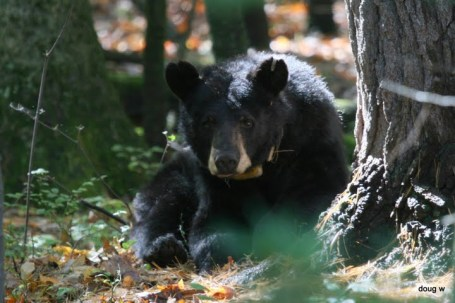 A Maryland black bear.