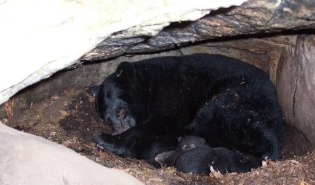 A black bear in her Maryland den.